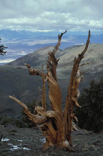 Bristlecone Pines above the Owens Valley