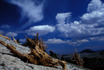 Bristlecone Pine Grove in the White Mountains