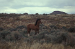 Wild Horse in Reese River Valley